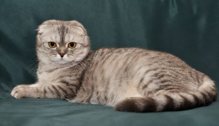 kucing scottish fold